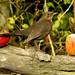 Blackbird Apple Series No 24