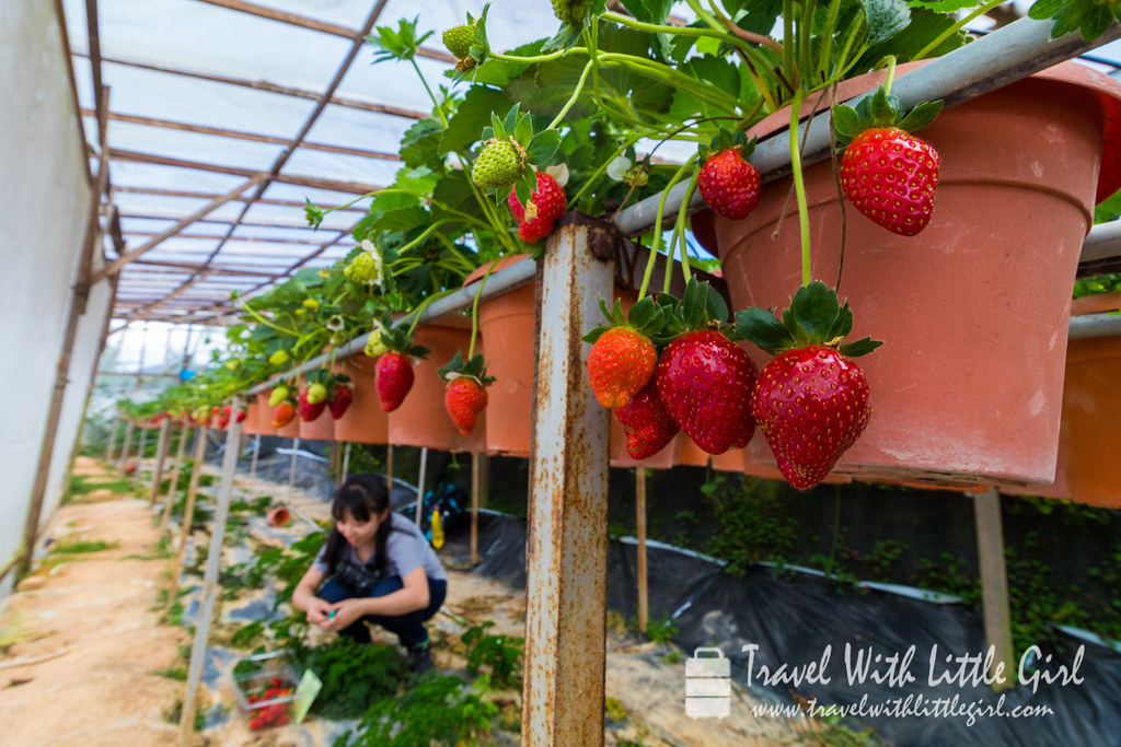 Hand Picking Strawberries at Cameron Highlands
