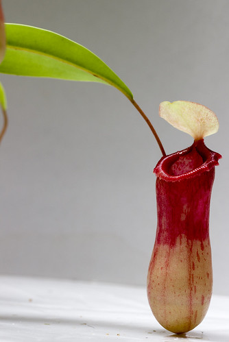 Nepenthes ventricosa UCD