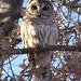 Barred Owl (Strix varia) by fmlehman