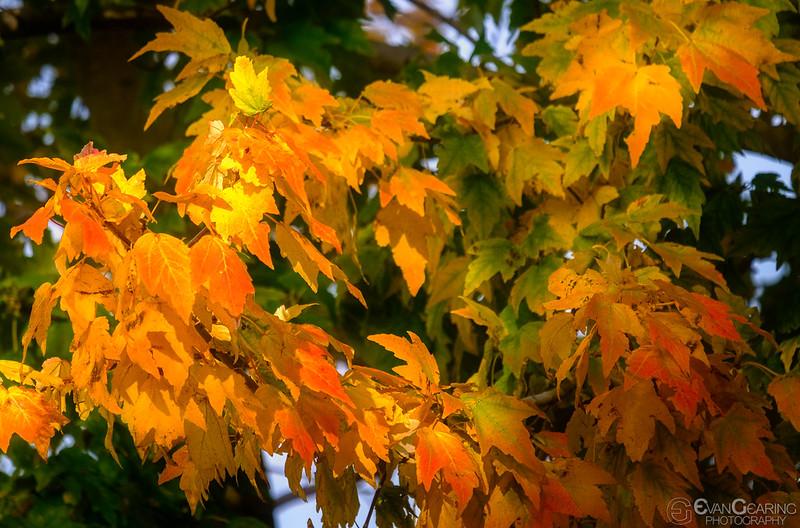FallFoliage4