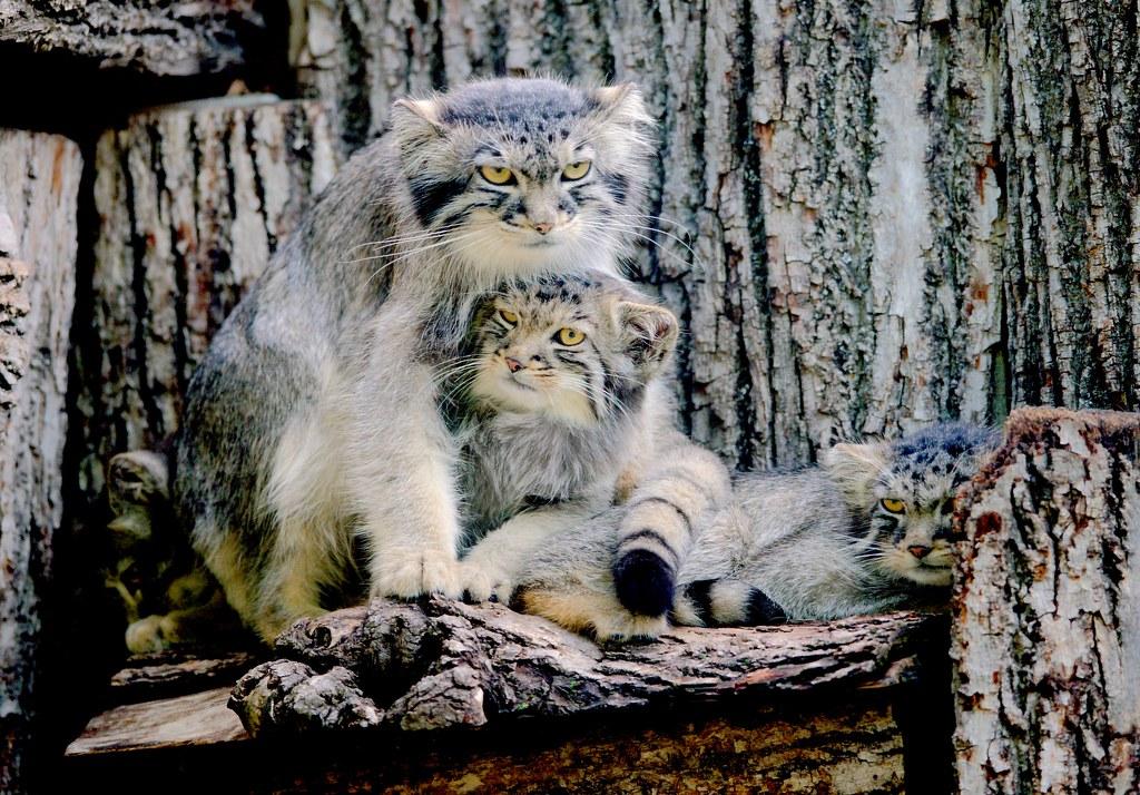 Pallas Cat_4