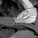 Green-veined White Butterfly - Pieris napi