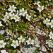 Two-flowered Sandwort (Arenaria biflora)