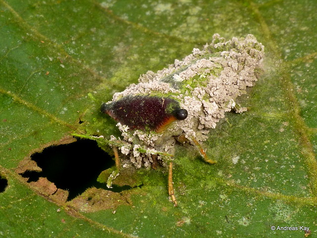 Shield bug, Edessa sp.? with Entomopathogenic fungus