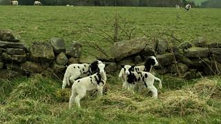 20170329-61_Spring Lambs