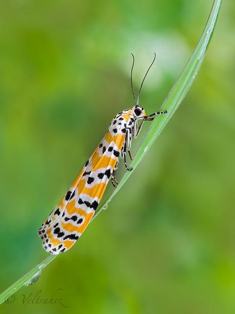 Ornate bella moth (Utetheisa ornatrix)