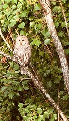 My barred owl is back, becoming a regular visitor now.