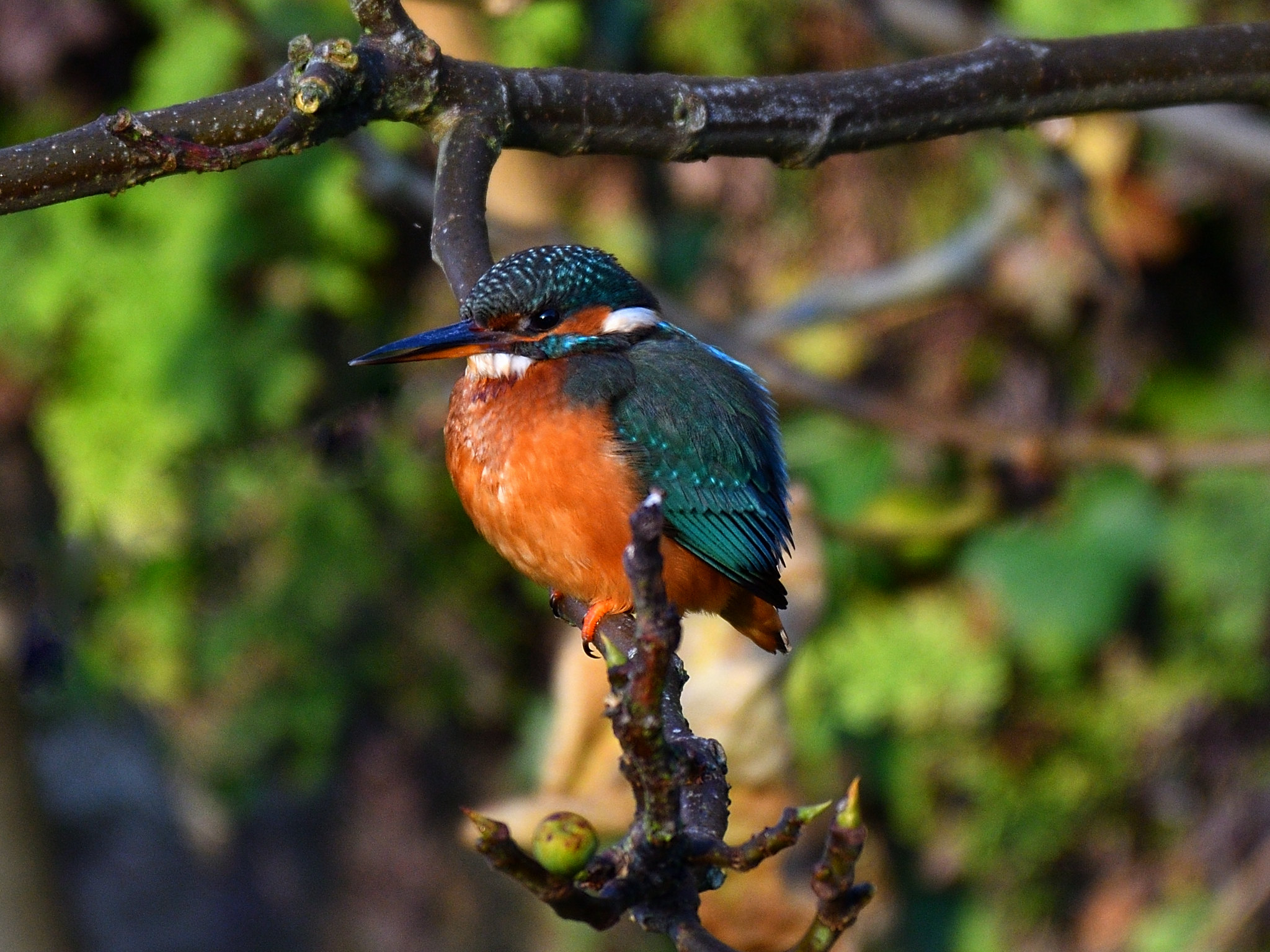 Kingfisher looking for breakfast