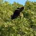 White Tailed Sea Eagle  (67)
