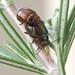 PB220047_Rosemary Leaf Beetles