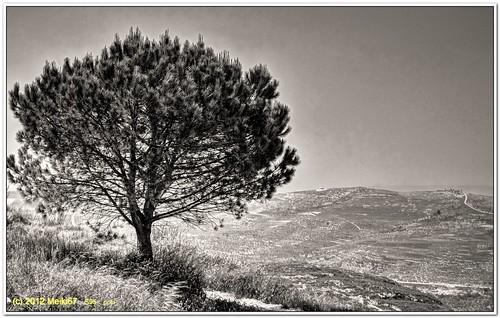 lonely tree yizhar shomron s95 samaria bw canon