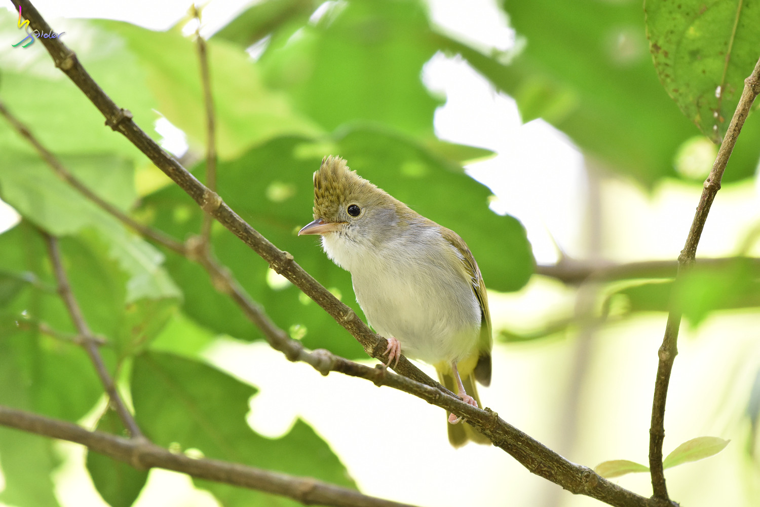 White-bellied_Yuhina_0313