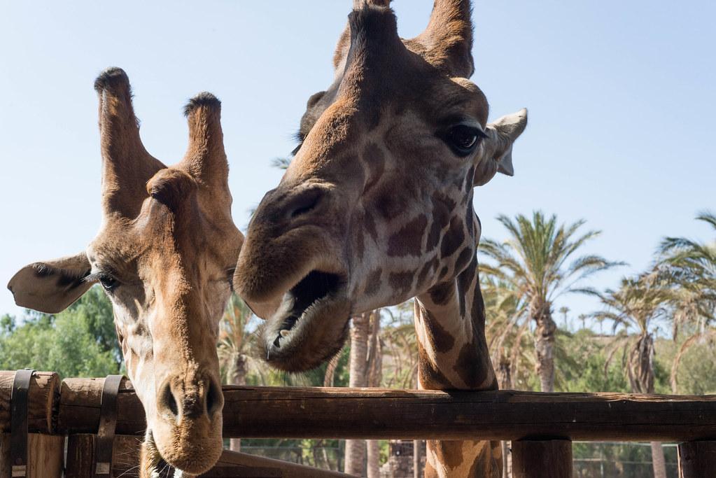 Zwei Giraffen im Oasis-Park