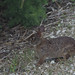 Marsh rabbit, Florida, Everglades