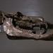 Gigantocamelus spatulus fossil