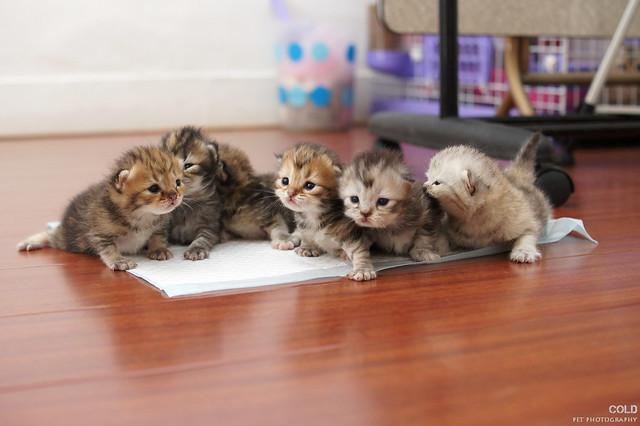 台北寵物攝影 Six kittens is learning how to walk