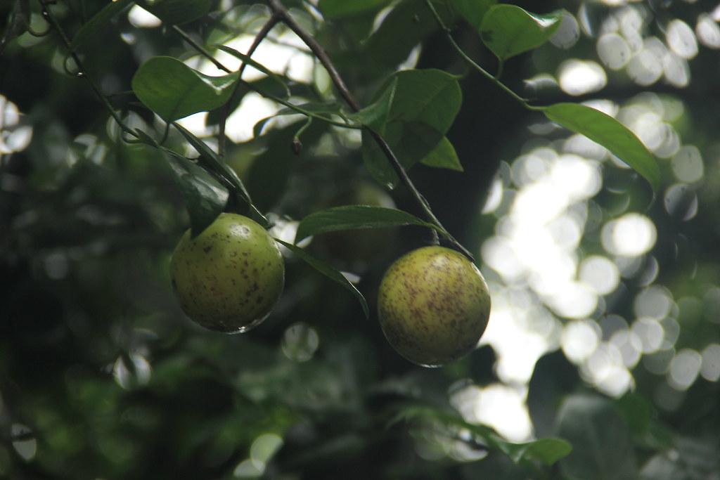 Nutmeg, Abraham's Spice Garden