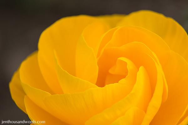 Ranunculus 03