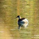 Aves en las lagunas de La Guardia (Toledo). 11-11-2017