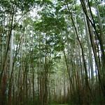 Eucalyptus saligna and Falcataria moluccana stand