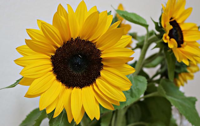2017 Sydney: Sunflower
