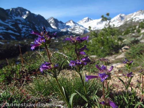 Rudberg's Penstemon flowers along the Mono Pass Trail, Inyo National Forest, California