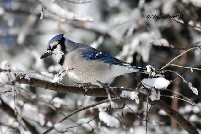 Photographed the Blue Jay (Cyanocitta cristata) out at hersey Lake Conservation Area in the City of Timmins Northeastern Ontario Canada