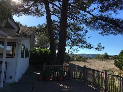 Allepo pines, Monterey pines, root damage IMG_5883