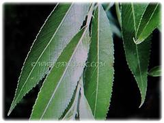 Lance-shaped leaves of Salix babylonica (Weeping Willow, Peking Willow, Chinese Weeping Willow,Babylon Weeping Willow, Babylon Willow) with finely toothed leaf margins, 30 Nov 2017