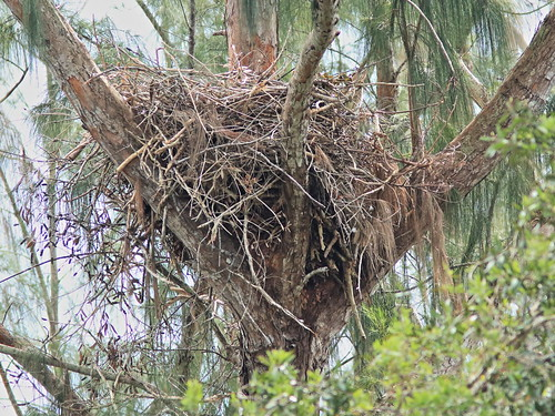 Bald Eagle nest 20171107