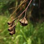 Eucalyptus microcorys capsules