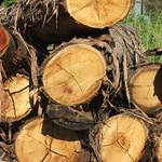 Eucalyptus microcorys logs