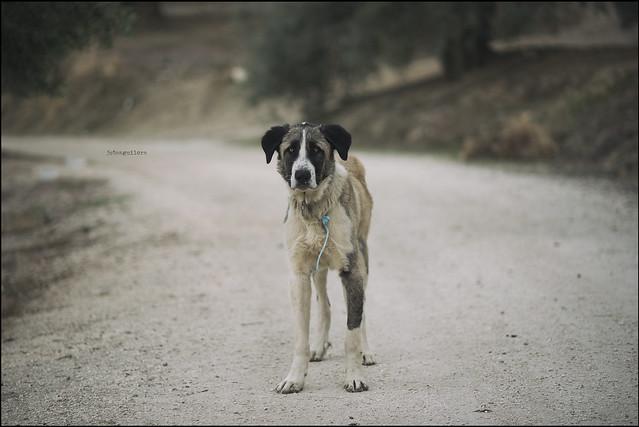 perro campero desconocido entre olivos sedientos