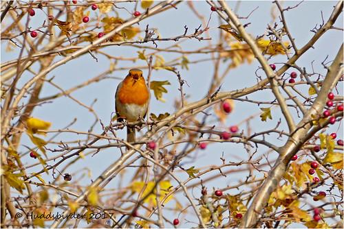 Robin-1340184