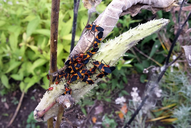 one green milkweed pod covered with mostly adult large milkweed bugs and a few larvae