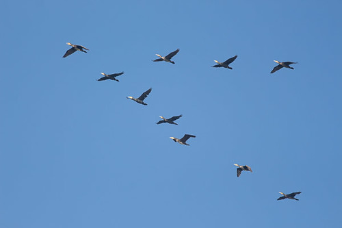 Great Cormorant V formation