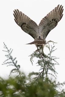 Hawk Landing in Tree