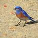 Western Bluebird Male 4564