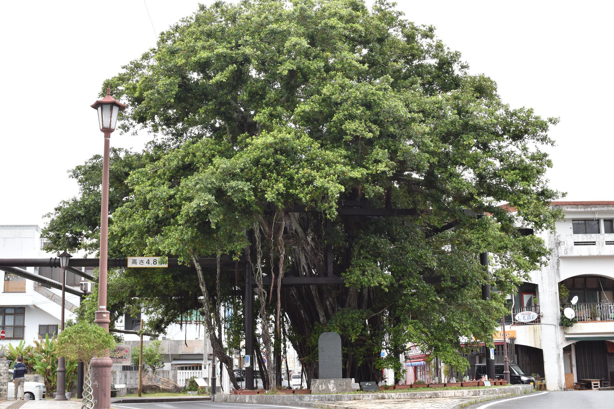 名護 がじゅまるの木