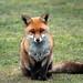 Fox (19)
