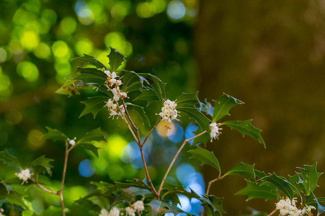 ヒイラギの花@天覧山への道