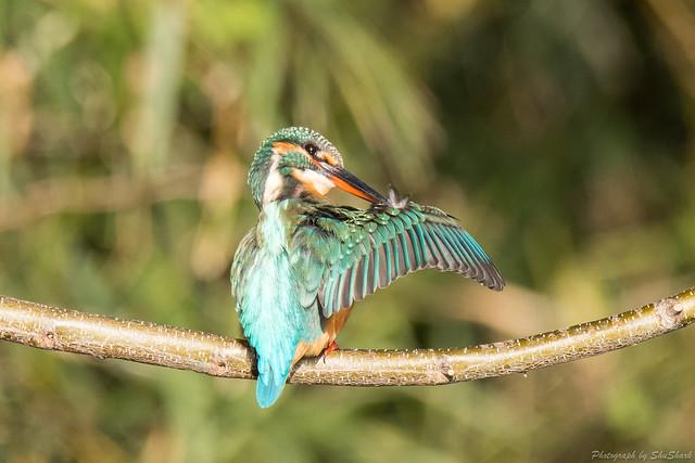20171202-kingfisher-DSC_9447