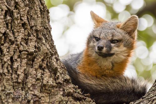Gray Fox up in a Tree