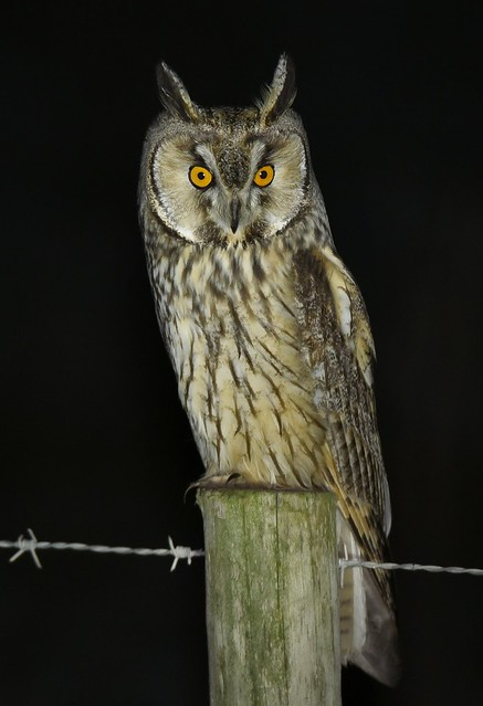 Bufo-pequeno / Long-eared Owl