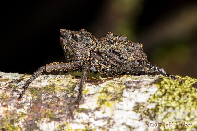 Weevil (Poropterus sp.)