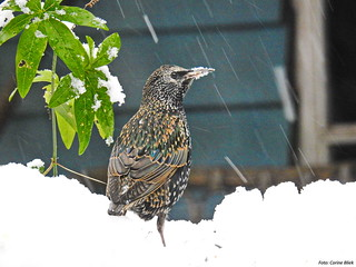 Common starling in the snow