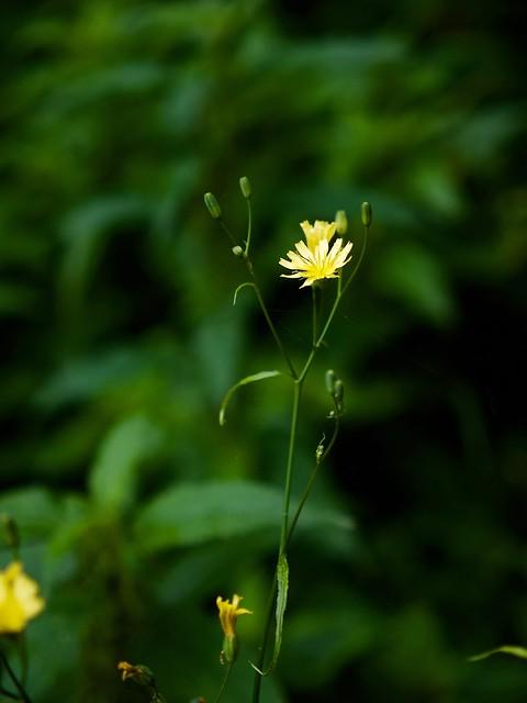 Gemeiner Rainkohl (Lapsana communis)