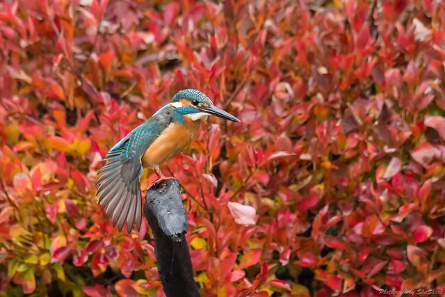 20171123-kingfisher-DSC_7817