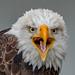 Bald Eagle by Joe Branco